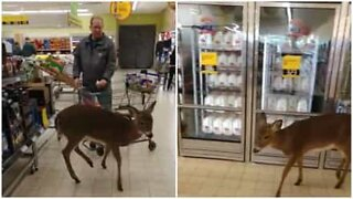 Deer invades US supermarket!