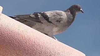 Solution to Clark County's pigeon problem - Video