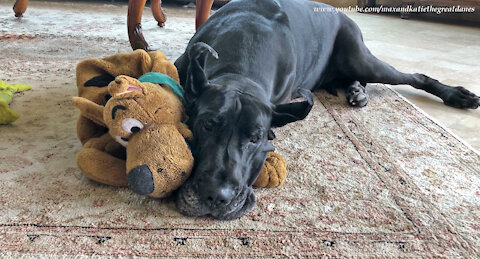 Great Dane's new best friend is her Scooby Doo toy