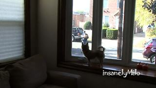 Milo the Chihuahua absolutely hates the mailman - Video