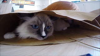 "Petty the ragdoll kitten and ""The afternoon paper bag game"""