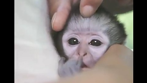 Little orphaned vervet monkey was too stressed to sleep until he got a face massage