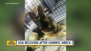 German shepherd to compete at 2018 Westminster Dog Show three years after horrific wreck - Video