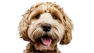 A Labradoodle Breeder Is Running HHS's Response To Coronavirus Pandemic