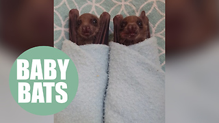 Two Egyptian fruit bats named Bruce and Wayne have been hand raised by an expert - Video