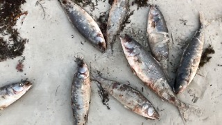 Hundreds of Dead Salmon Mysteriously Washed Shore in Cape Jervis - Video