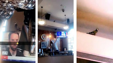 Spitting feathers: Hilarious moment pigeon flies into pub and staff spend two hours trying to remove it