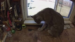 Canada lynx absolutely loves being brushed - Video
