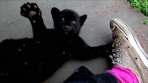 Jaguar cub play fights with human