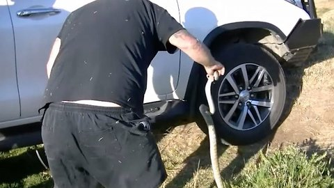 Wheel of misfortune: Venomous snake rescued from underside of car after getting trapped in tyre
