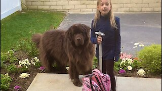 Girl and her giant pup attempt to go to school together