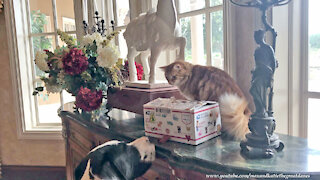 Happy Cat Shows Great Danes His Birthday Gifts From Fairy Godmother