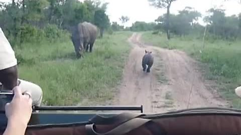 Brave Baby Rhino Adorably Tries To Scare Off Safari Vehicle