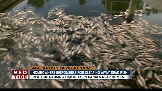 Homeowners tired of dead fish from red tide clogging Manatee County canals - Video