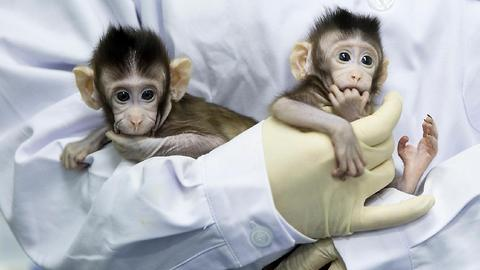 Two Baby Monkeys in China Are The First Primates To Be Cloned