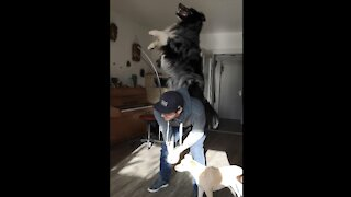 Australian Shepherd performs array of mind-blowing tricks