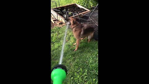 "German Shepherd Attempts To ""Help"" Water The Garden"