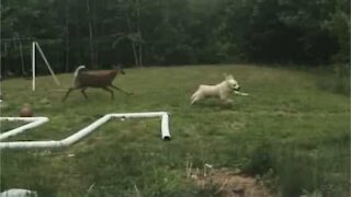 Dog and deer play in the backyard