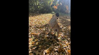 Sailor the Pug playing in new fall leaves