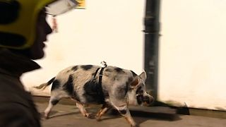 Firefighting Pig - Video