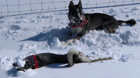 Husky Puppy Does Snow Angels!