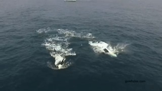 Playful Killer Whales Breach Near Monterey, California - Video
