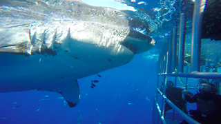 Great White Shark Rams Into Diver Cage