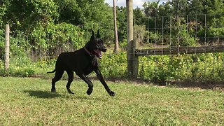 Happy Playful Adopted Great Dane Shows Off Her Zoomies  - Video