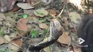 Thirsty cobra drinks water from a glass || ViralVideoUK - Video