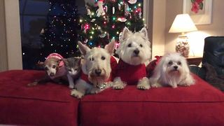 Four dogs and a cat pose for Christmas picture - Video