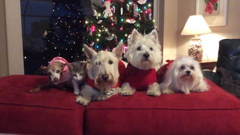 Four Dogs And A Cat Pose For A Christmas Picture