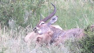 Tourists witness lioness hunting waterbuck in daylight safari trip - Video