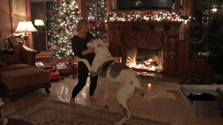 Christmas Dancing with  Max the Great Dane  - Video
