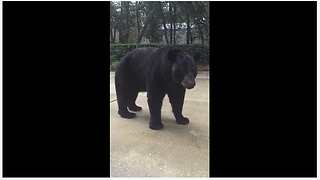 Curious Black Bear Has Close Encounter With Brave Human   - Video