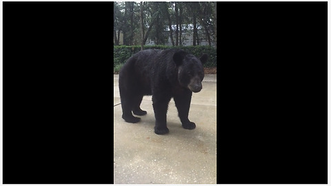 Curious Black Bear Has Close Encounter With Brave Human