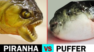 Who has a sharper bite: Piranha or puffer fish? - Video