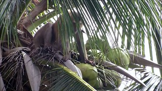 Hard-working monkey scales treetops for coconuts - Video