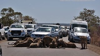 Feasting Lions Cause Traffic Chaos - Video