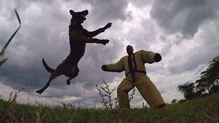 Anti-Poaching Dogs Protect Kenya's Endangered Wildlife - Video