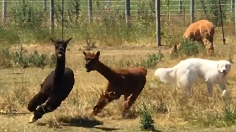 Terrified alpaca runs screaming for safety near herd dogs