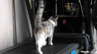 Toy on string gets cat to use treadmill