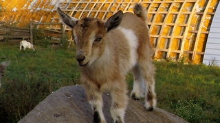 Adorable Baby Goats Find Jumping To Be Their Favorite Pastime  - Video