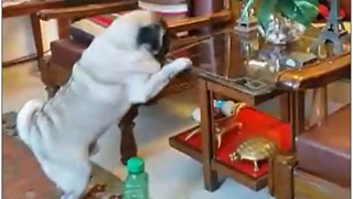 Persistent pug finally claims his treat - Video