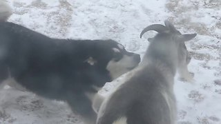 Alaskan Malamute And Goat Are Adorable Best Friends  - Video