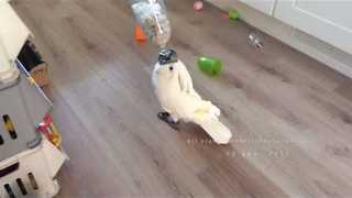 Cockatoo Works Hard for Pine Nuts - Video