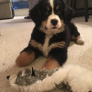 Bernese Mountain Dog puppy's first bone - What a priceless moment!