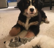 Bernese Mountain Dog puppy's first bone - What a priceless moment! - Video
