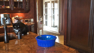 Funny Great Dane and Cat share dinner together - Video