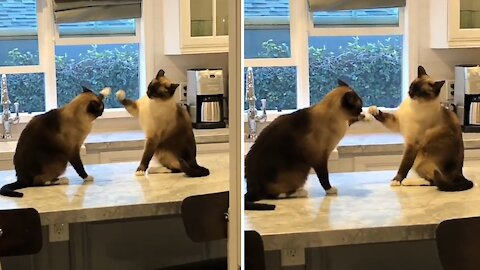 Siamese cats have the laziest kitchen counter fight ever