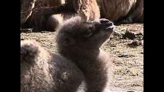 Elizabeth The Baby Camel - Video